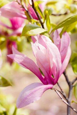 Quadro Florescer, rosado, magnólia, flores, primavera, tempo