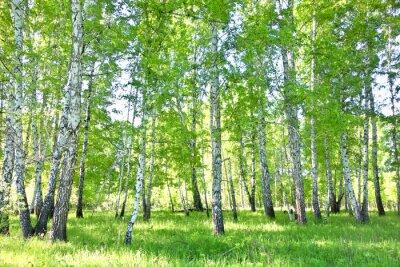 Quadro floresta do vidoeiro