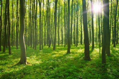 Quadro Floresta na primavera