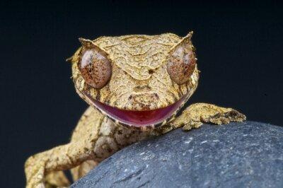 Quadro Folha de cauda phantasticus gecko / Uroplatus