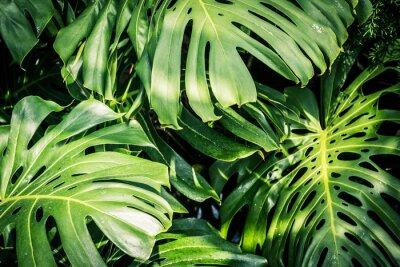 Quadro Folhas verdes tropicais bonitas Monstera