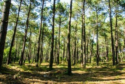 Quadro Forêt landaise