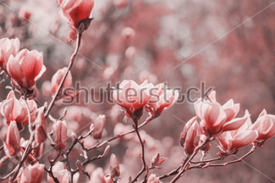 Quadro Fotografia de tendências sobre o tema da nova cor do ano 2019 - Living Coral. Flores da magnólia da mola no fundo natural.