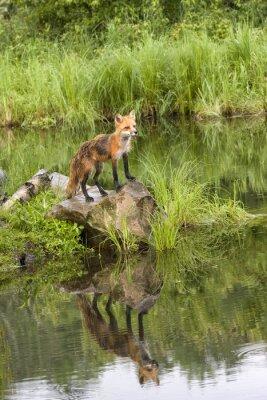 Quadro Fox com reflexão em um lago quieto