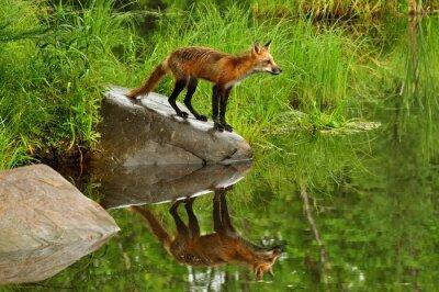 Quadro Fox e waterreflection vermelho cercado pelo verde.