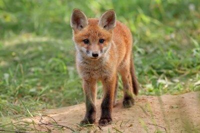 Quadro Fox em estado selvagem