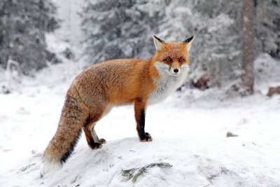 Quadro Fox in forest at High Tatras, Slovakia