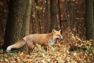 Quadro Fox na floresta do outono