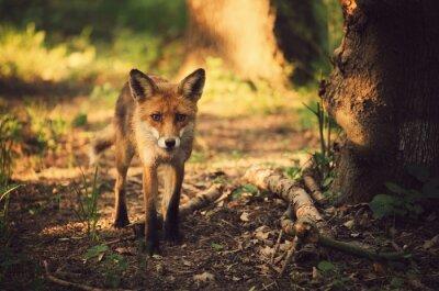 Quadro Fox na floresta do verão