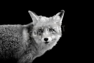 Quadro Fox no fundo escuro. Imagem em preto e branco