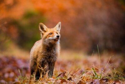 Quadro Fox (Vulpes vulpes) na floresta da Europa