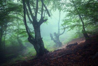 Quadro Fuga através de uma misteriosa floresta escura velha em nevoeiro. Outono