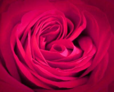 Quadro Fundo cor-de-rosa do close-up da rosa. Cartão romântico do amor