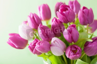 Quadro Fundo roxo bonito das flores da tulipa