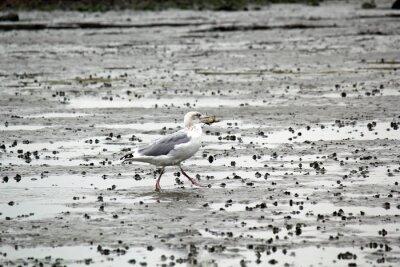 Quadro Gaivota com o caranguejo no seu bico na lama