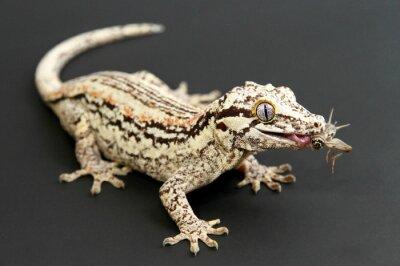 Quadro Gargoyle Gecko comer