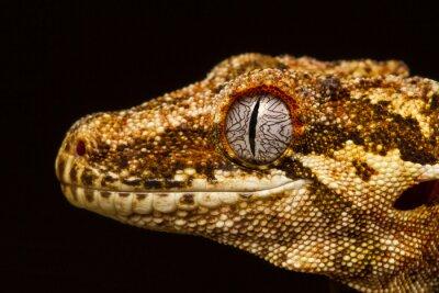 Quadro Gárgula, gecko, (rhacodactylus, auriculatus), perfil