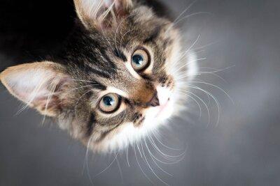 Quadro Gatinho macio pequeno em um fundo cinzento