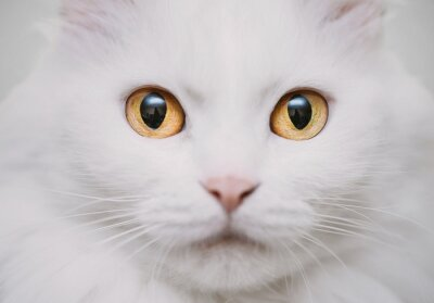 Quadro gato branco