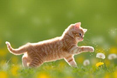 Quadro Gato novo que joga com Dandelion / dente-