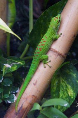 Quadro Gecko gigante do dia de Madagascar