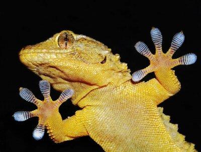 Quadro geco che Mostra le sue zampe adesive