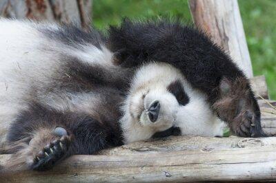 Quadro Gigante dormir urso panda