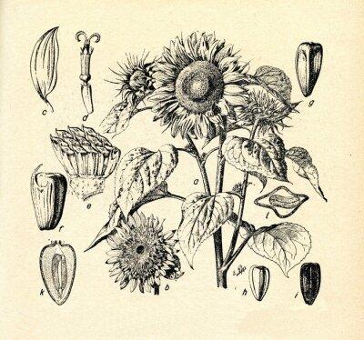 Quadro Girassol comum (Helianthus annuus)