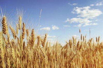 Quadro Golden wheat field