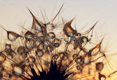 Quadro Gotas de orvalho em sementes de um dente de leão ao nascer do sol close-up.