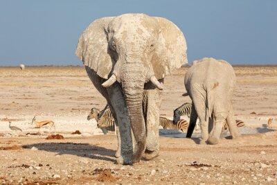 Quadro Grande touro do elefante africano (loxodonta africana) coberto na lama, parque nacional de Etosha, Namíbia.