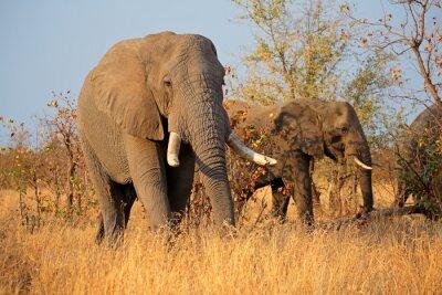 Quadro Grandes elefantes de touro africanos (Loxodonta africana), parque nacional de Kruger, África do Sul.