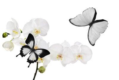 Quadro grandes flores de orquídea branca e duas borboletas