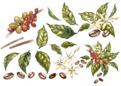 Quadro Grupo de feijões vermelhos da goma-arábica do café no ramo com as flores isoladas, ilustração da aquarela.