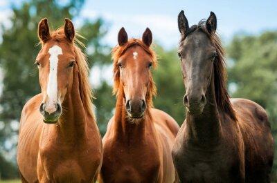 Quadro Grupo de três jovens cavalos no pasto