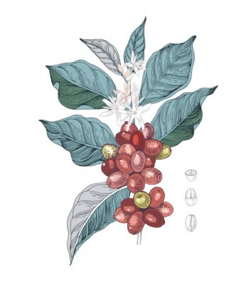 Quadro Hand drawn illustration of Coffee branch with seeds, fruits and flowers. Sketched coffee plant