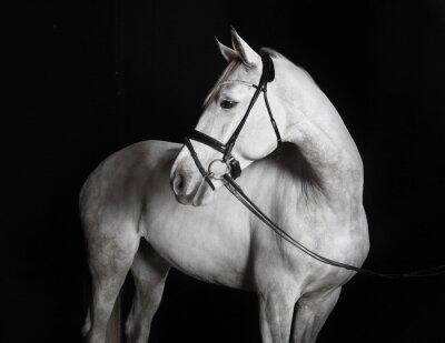 Quadro Holsteiner Pferd weiß vor schwarzem Hintergrund