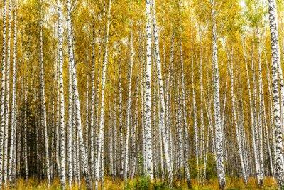 Quadro Início, outono, vidoeiro, bosque