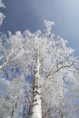 Quadro Inverno, vidoeiro, árvores, floresta