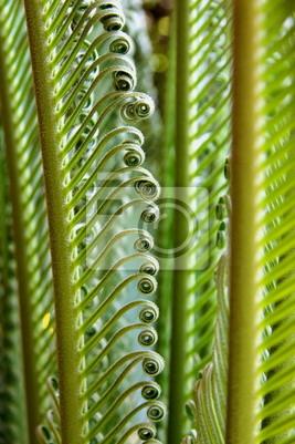 Quadro jeune de palmes cycas