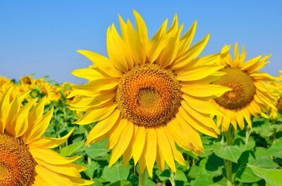 Quadro Jovem, girassóis, flor, campo, contra, azul, céu