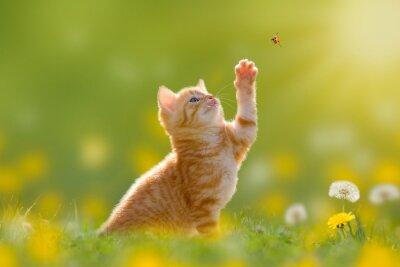 Quadro Junge Katze/Kätzchen jagd einen Marienkäfer