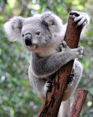 Quadro Koala Curioso