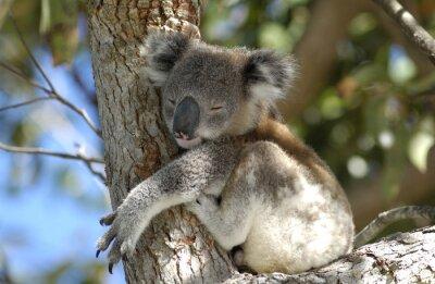 Quadro Koala na área de Port Stephens, NSW, Austrália.