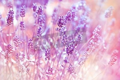 Quadro Lavanda, flores, flor, jardim