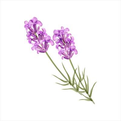 Quadro Lavender. Flor Herb. Ilustração do vetor