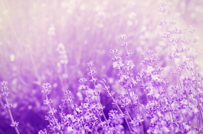 Quadro Lavender Mood
