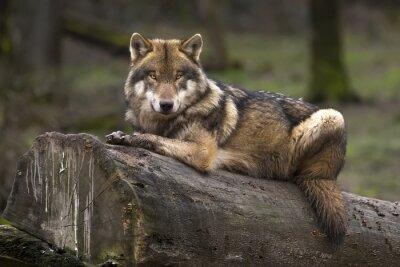 Quadro Le loup gris