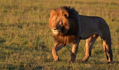 Quadro Leão africano