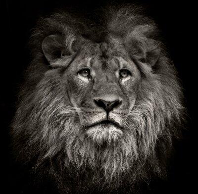 Quadro leão arrogante
